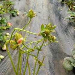 草莓脱毒苗、一代苗、二代苗都有啥区别?