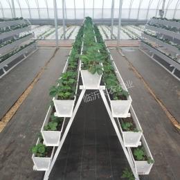 A字型立体草莓种植