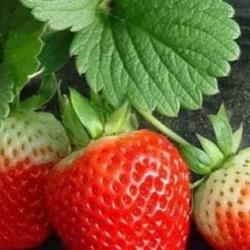 草莓畸形的原因与防治方法,超级实用!