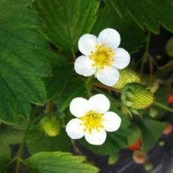 草莓花期做好这七点,想不高产都很难