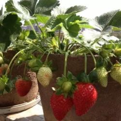 教你如何阳台盆栽草莓!好吃又健康!